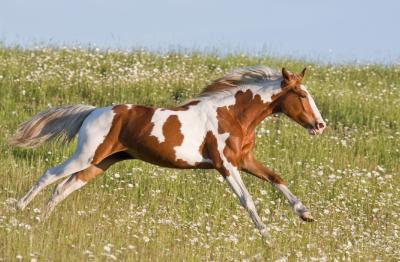 horse-running-DT